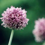 音楽素材『アリウム』咲き誇る花のように大地を強く踏みしめるイメージのフリーBGM
